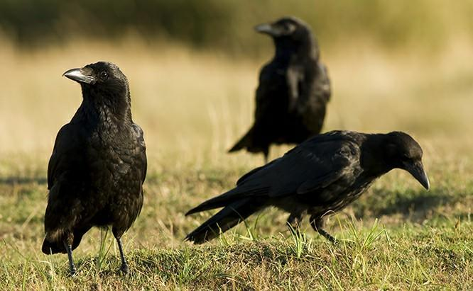 Do you believe that crows are a bad omen?