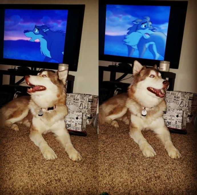 This is my Siberian Husky Princess for those who asked to see her!!! Balto is her favorite movie...