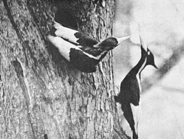 Do you think that the Ivory-billed Woodpecker is still alive?