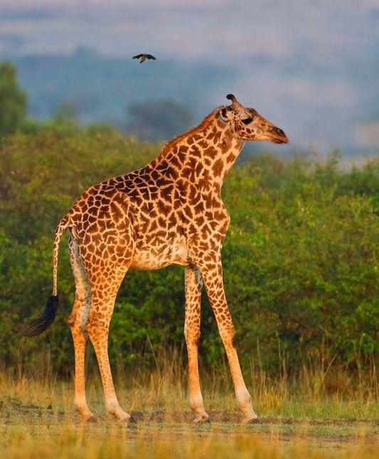 Why would nature make short head giraffes if how they were made, made them die out?
