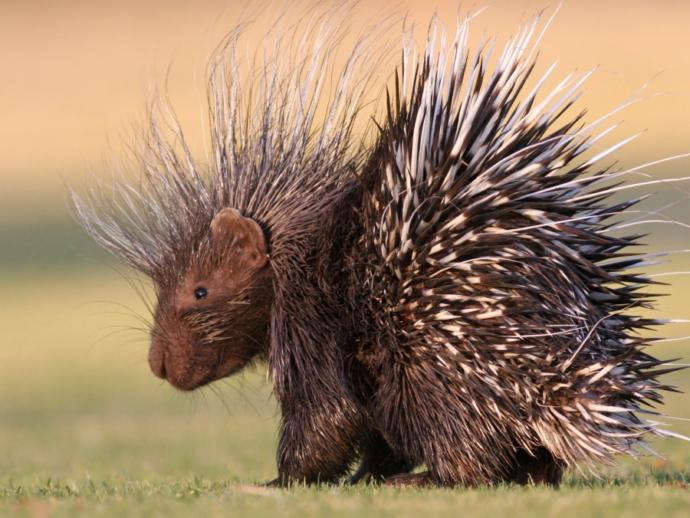 What purpose are quills for porcupines?