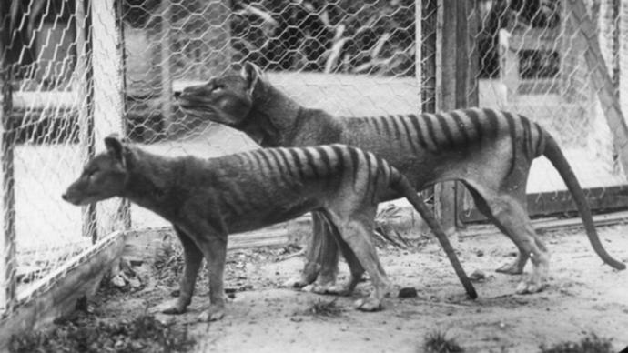 If the Thylacine are thought to be extinct, why many people are saying that they have seen one?