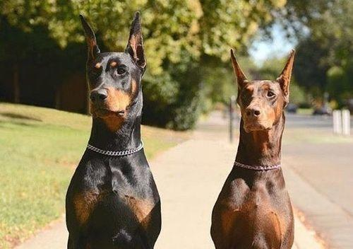 Are the majority of Doberman Pinschers predominantly black haired or brown haired?