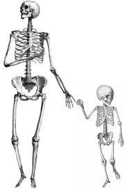 Why do babies have more bones than adults?