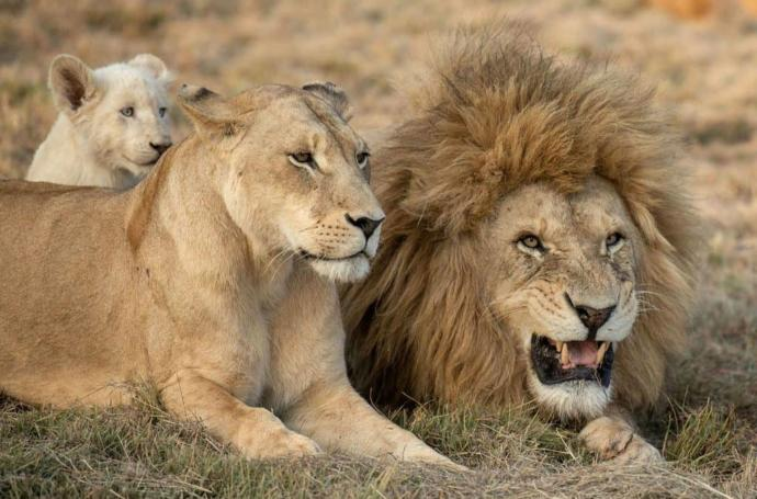 Do you think its possible for you or anyone to beat or kill a wild grown lion or lioness 1 on 1 with nothing in your hands put punching, kicking, etc?