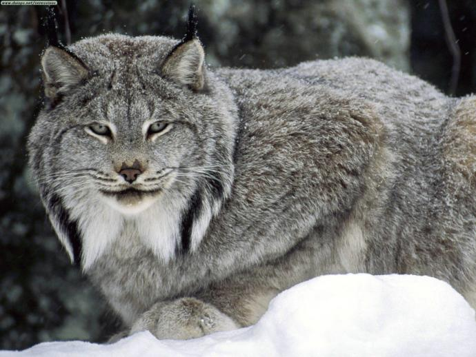 Which North American Wild Cat You Would Rather Face Off In The Wild?