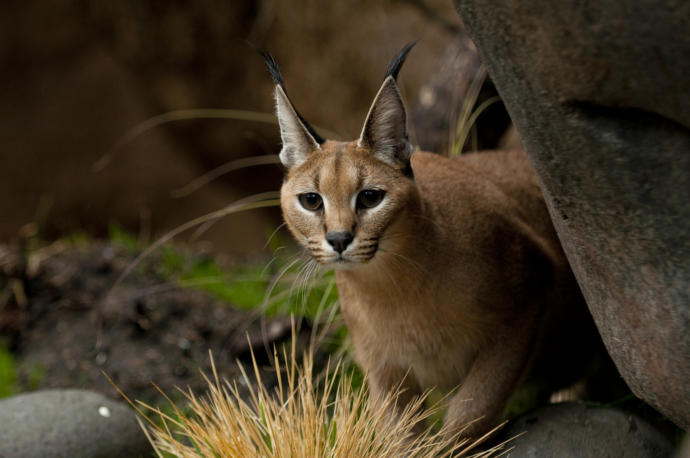 Which African Wild Cat You Would Rather Face Off In The Wild?