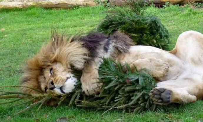 What do you think about Christmas trees being donated to the zoo for the animals that live there?
