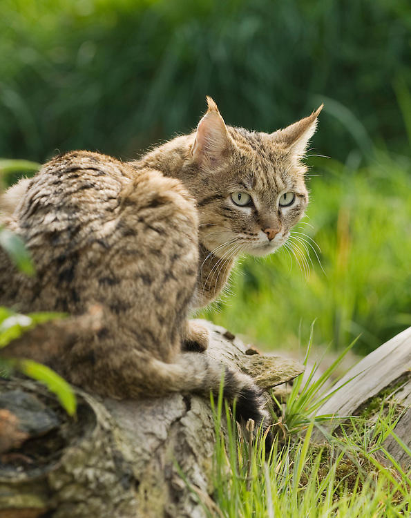 Which Asian Wild Cat You Would Rather Face Off In The Wild?