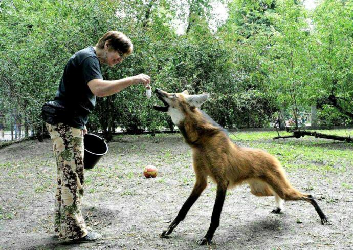 How would you feel about seeing a animal that has some similar appearances to a fox but large?