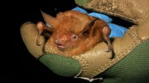 What You Think About This New Bat Species They Found In Guinea?