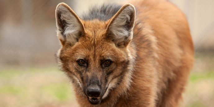 Which Of The Following South American Wild Dog Species You Would Rather Face In The Wild?