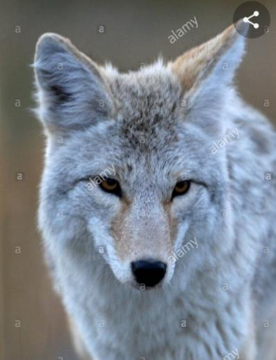 What should be done to the coyote in ca attacking people?