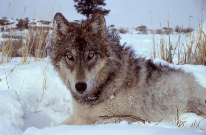 Silly clueless ranchers, we need wolves!!!