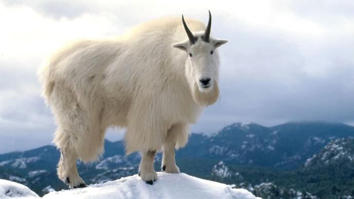 How come you dont have a goat as a pet?
