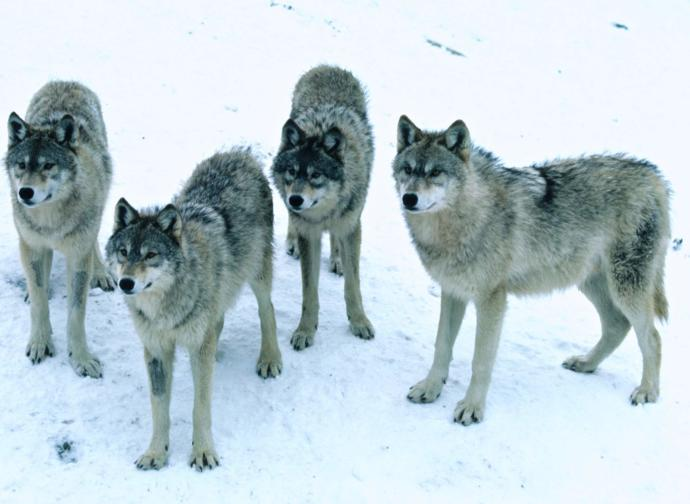What happens if you encounter wolves?