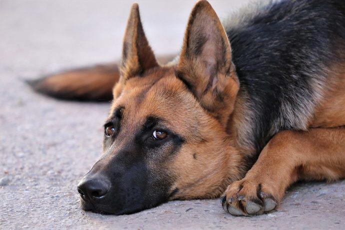 Why do most guys like German Shepherd dogs?