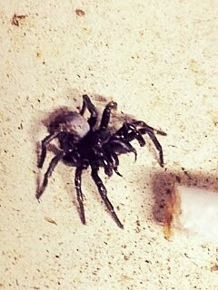 Why did I not die after smoking a cigarette soaked in funnel web venom?
