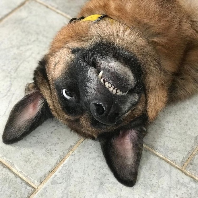 Why are German shepherds obsessed with rocks?