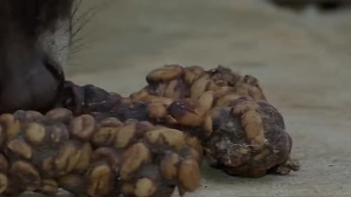 Do you mind coffee beans going through animals?