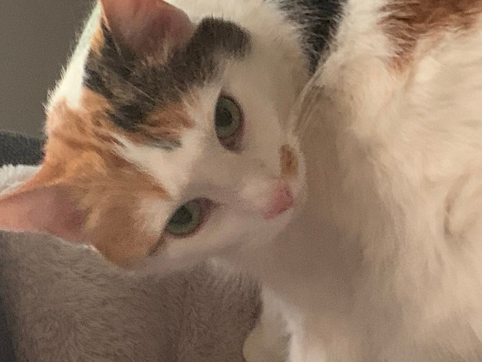 Why are light eyes common in cats but not common in humans?