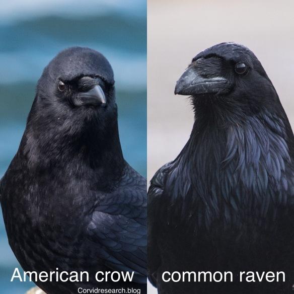 ... Versus the Virgin Crows.